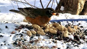 Our winter Robin snacking on some treats in Springfield. Photo by Lori Pennycock.