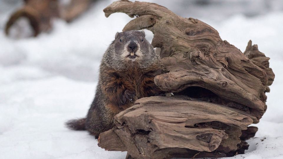Shubenacadie Sam looks around after emerging from his burrow at the wildlife park in Shubenacadie, N.S. on Friday, Feb. 2, 2018. Sam failed to see his shadow and predicts an early spring. THE CANADIAN PRESS/Andrew Vaughan