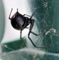 A female Black Widow spider waits in her web in Metairie on Friday, June 2, 2006. The markings on Northern Black Widow spiders differ in that the two triangles do not touch to form the classic hourglass shape. (AP / Alex Brandon)