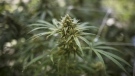A cannabis plant approaching maturity is photographed in Fenwick, Ont., on Tuesday, June 26, 2018. (THE CANADIAN PRESS/ Tijana Martin)