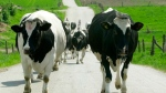 In this file photo dated Saturday, May 4, 2002, a herd of cows is moved from pasture to a farm for milking near Krakow, Poland. (AP Photo/Czarek Sokolowski)