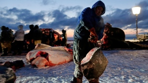 In this Oct. 7, 2014 file photo, a man hauls whale blubber as a bowhead whale is butchered near Utqiagvik, then known as Barrow, Alaska. (AP Photo/Gregory Bull)
