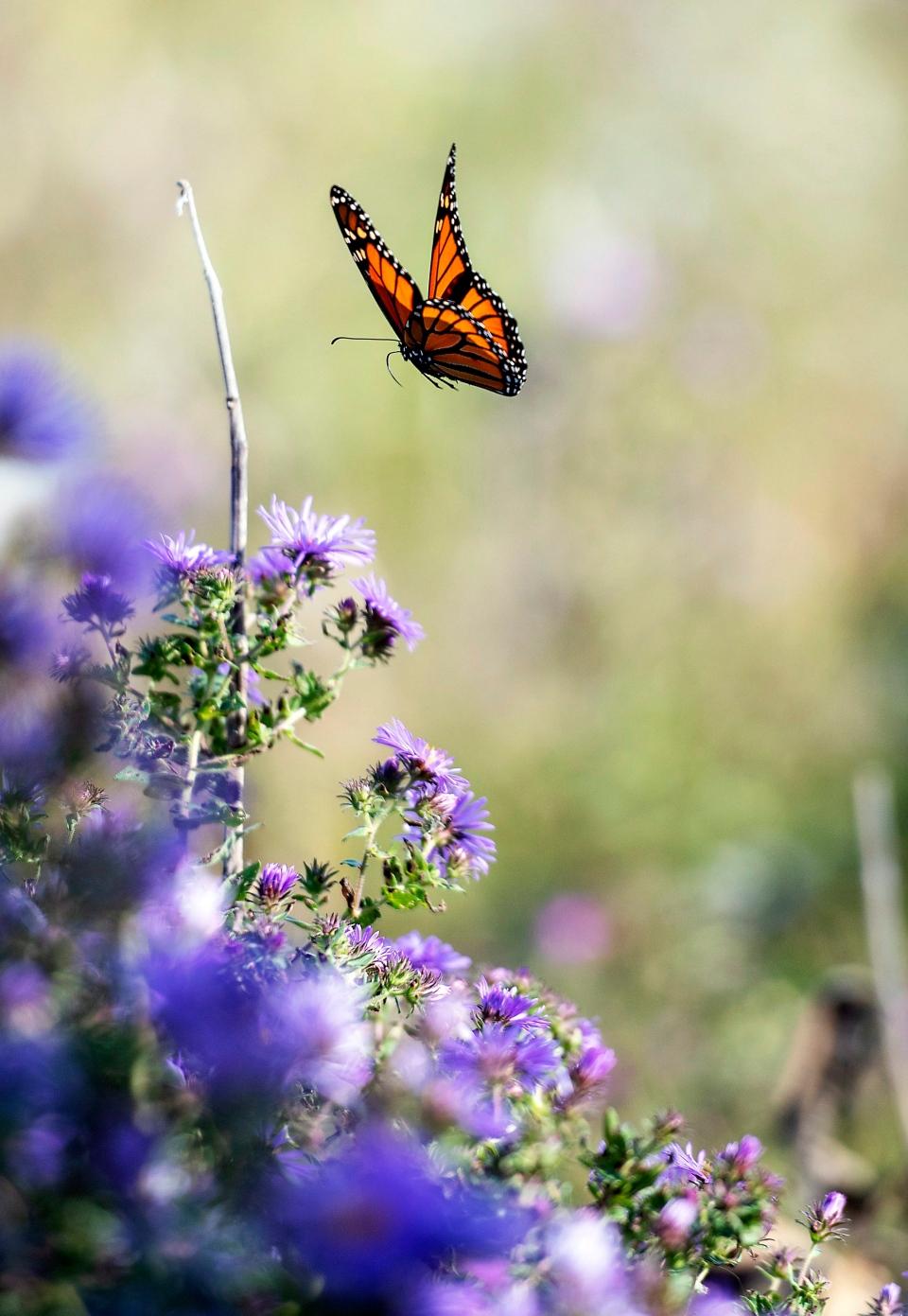 A monarch butterfly flutters around a field behind Dave Bendlin's home Wednesday, Sept. 26, 2018, in Milton, Wis. (Angela Major /The Janesville Gazette via AP)