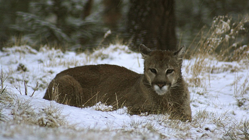 A mountain lion lunged at a runner on a Colorado trail and bit his face  before the man fought back and choked the animal to death c259b565e