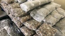 cannabis, RCMP, Banff, drug seizure, drugs, cannab