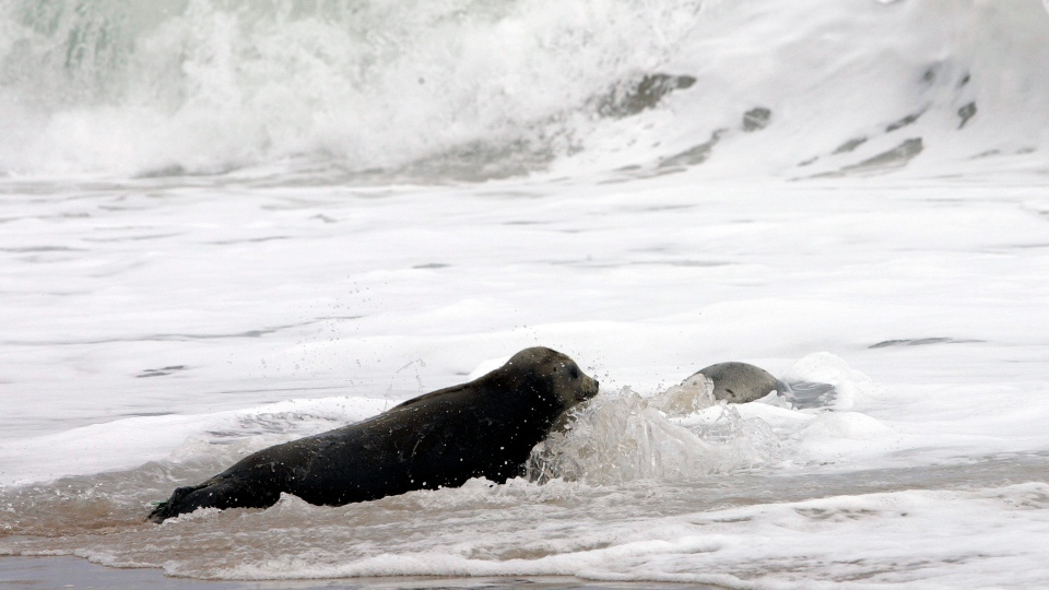 Two newly released harp seals return to the water after they were released at East Beach in Charlestown, R.I., Thursday, May 17, 2007. (AP Photo/Bob Child)