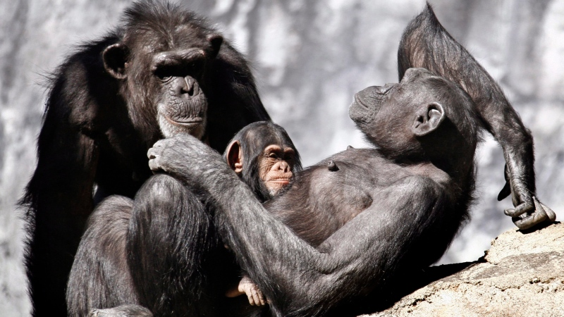 Chimpanzees sun themselves in their compound at the Los Angeles Zoo, Friday, Dec 20, 2013. (AP Photo/Nick Ut)