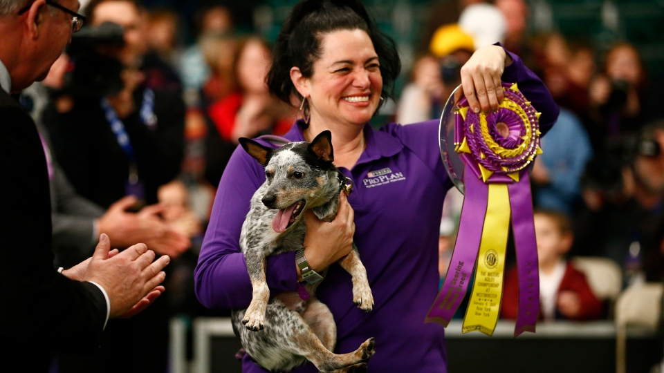 """Lisa Tool displays her ribbon after winning in the masters agility championship with her dog """"Plop"""" during the Westminster Kennel Club Dog Show, Saturday, Feb. 9, 2019, in New York. (AP Photo/Noah K. Murray)"""