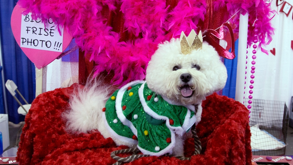 Casey, a Bichon Frise, poses for photos during the meet the breeds companion event to the Westminster Kennel Club Dog Show, Saturday, Feb. 9, 2019, in New York. (AP Photo/Nat Castaneda)
