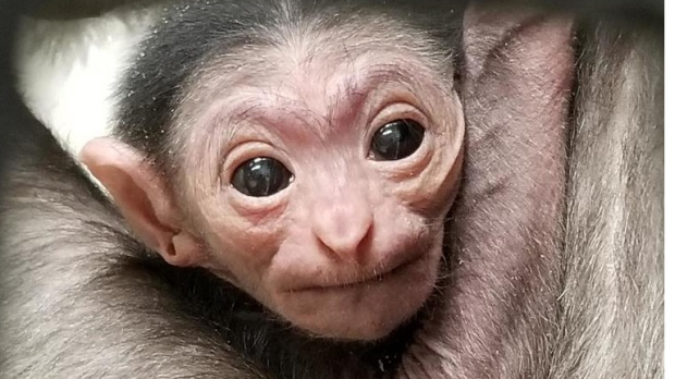 Assiniboine Park Zoo welcomed a new baby gibbon.