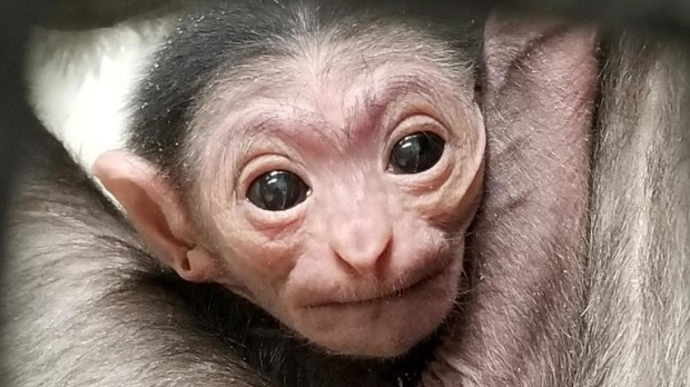 White-handed gibbon born at Winnipeg zoo doing well | CTV News