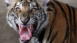 A juvenile tiger roars in a caged compound on the roof top of an apartment building in Pathum Thani province, central Thailand Tuesday, Sept. 11, 2012.  (AP Photo/Apichart Weerawong)