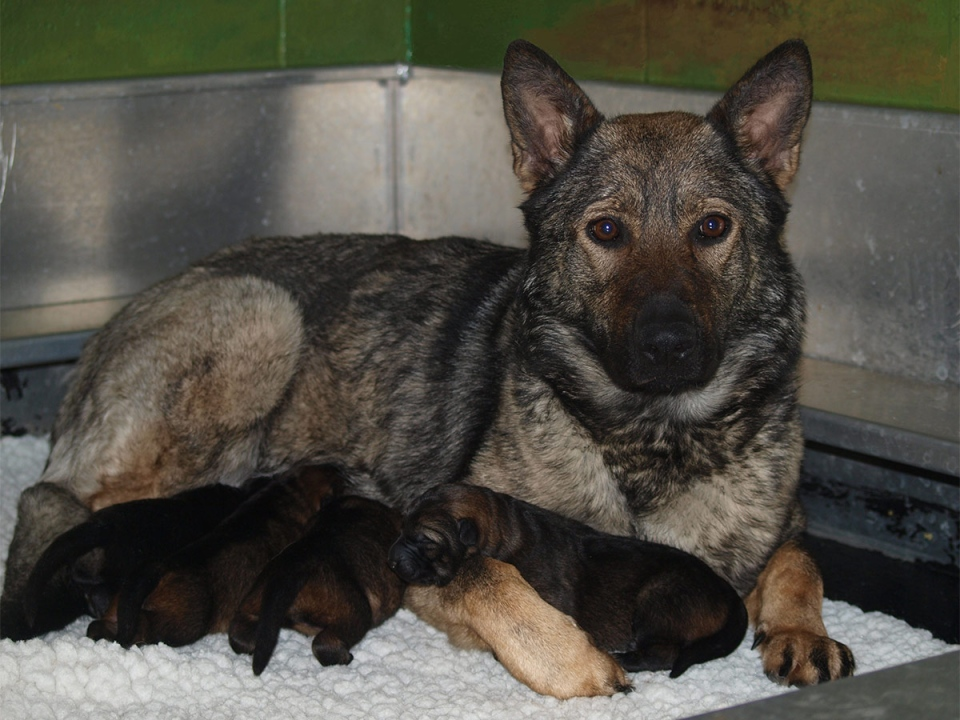 Mother Jola and her pups are seen at the RCMP Police Dog Services Training Centre. The RCMP has launched a contest to name the puppies.