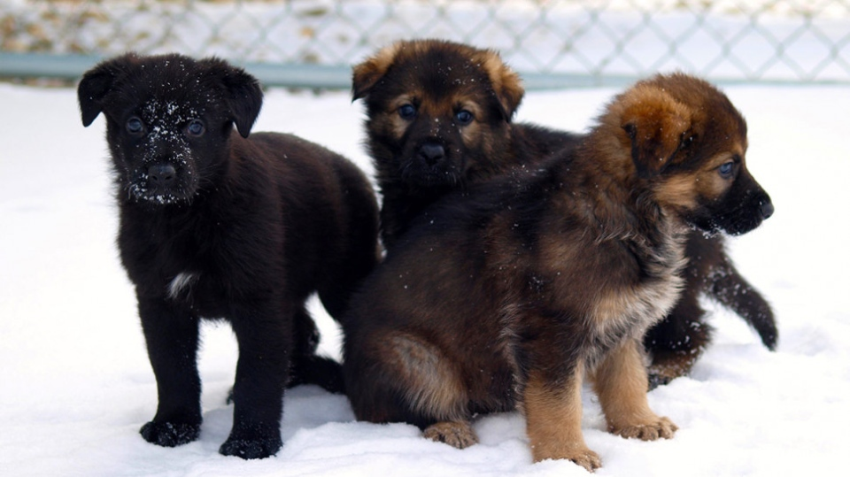 These three puppies are from the first litter to be born at the Police Dog Services Training Centre in 2019. (RCMP)