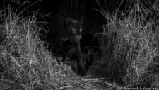 Black leopard black and white