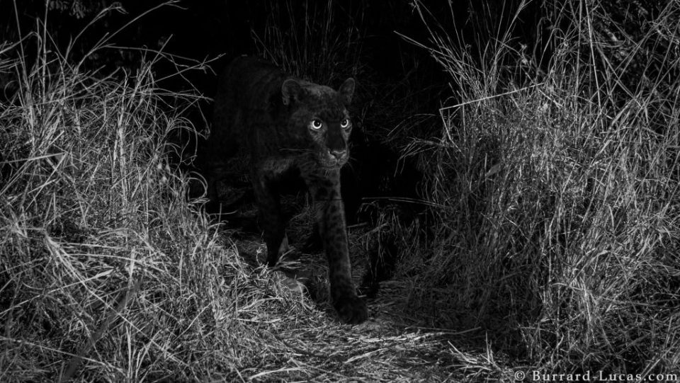 Rare photos were recently captured of the black leopard in Laikipia Wilderness Camp in Kenya. (Will Burrard-Lucas taken with Camtraptions camera traps)