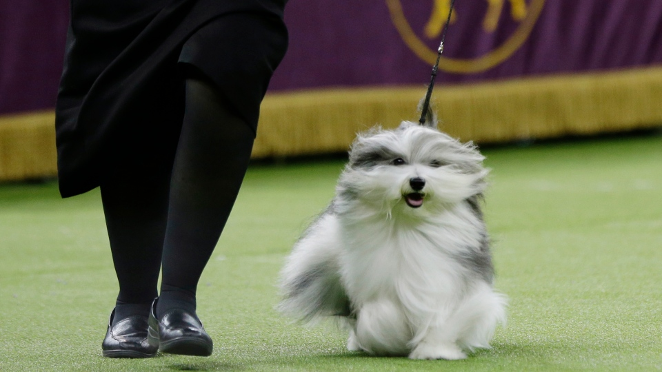 Bono, a Havanese, competes in the Best In Show at the 143rd Westminster Kennel Club Dog Show on Tuesday, Feb. 12, 2019, in New York. King, a wire fox terrier, won Best in Show. Bono came in second. (AP Photo/Frank Franklin II)