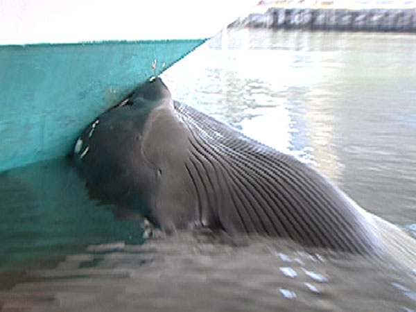 Whale Impaled On Cruise Ship In Vancouver CTV Vancouver News - Cruise ship whale