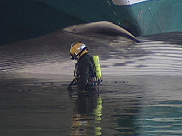 Whale Impaled On Cruise Ship In Vancouver CTV Vancouver News - Whale cruise ship