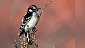 A Downy Woodpecker resting on a Blue Juniper on a rare shot. Photo by Neil Longmuir.