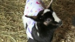 Fundraiser to help baby goat