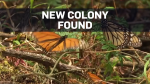 Third colony of monarchs found on Mexican volcano