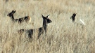 Deer walk in a field near Bismarck, N.D. in an April 19, 2012 file photo. (THE CANADIAN PRESS/APBrian Gehring/Bismarck Tribune via AP, File)