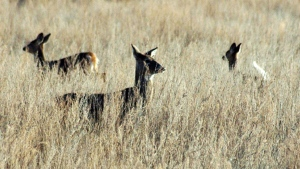 Deer walk in a field near Bismarck, N.D. in an April 19, 2012 file photo. (THE CANADIAN PRESS/APBrian Gehring/Bismarck Tribune via AP, File)