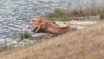 Orange alligators were spotted in a pond in Bluffton, S.C. (WJCL-TV / CNN)