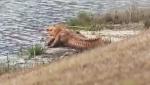 Orange alligators were spotted in a pond in Bluffton, S.C. (WJCL-TV / CNN)