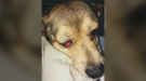 Meeka the dog was found badly injured in a home on Maple Street in Sylvester, N.S. (Brittany Panisiak)