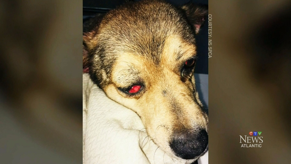 Police are hoping for a full recovery for a dog that was removed from a home in Pictou County, N.S.,