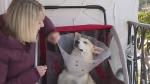 Pup needs prosthetics