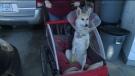 CTV National News: Dog seeking prosthetic leg