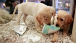 Window shoppers look at a pair of Labrador puppies for sale at the Westside Pavilion Shopping Center in Los Angeles, Oct. 4, 2010. (AP Photo/Damian Dovarganes, file)