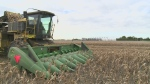Stressful corn harvest in Ontario