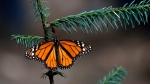 A Monarch butterfly rests in the Amanalco de Becerra sanctuary, on the mountains near the extinct Nevado de Toluca volcano, in Mexico, Thursday, Feb. 14, 2019. (AP Photo/ Marco Ugarte)