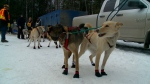 Canadian Challenge sled dogs prepare for 4-day rac