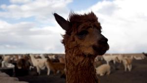 This Dec. 11, 2018 file photo shows a llama on the Vinto homestead, on the outskirts of Santiago de Machaca, Bolivia. (AP Photo/Juan Karita)
