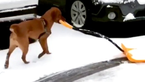 Loyal pup helps owner shovel snow
