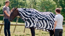 This undated photo issued by University of Bristol, England, shows a horse wearing a zebra striped coat. (University of Bristol and University of California at Davis via AP)