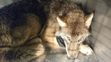 This young wolf was rescued from the icy water by big-hearted construction workers in Estonia. (Terveks Veterinaaria/Facebook)