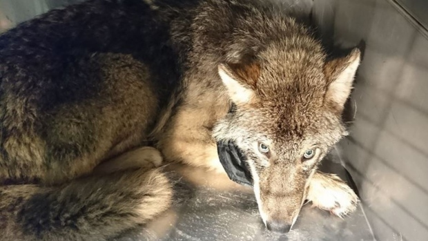 'Dog' rescued from an icy river turns out to be a WOLF