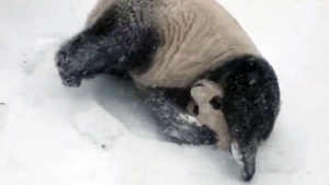 Giant pandas tumbles in the snow