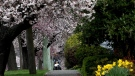 A woman and child walk along Beachwood Ave. amongst cherry blossoms and daffodils in Victoria on March 24, 2017. (THE CANADIAN PRESS/Chad Hipolito)