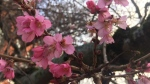 Cherry blossoms in Victoria. File