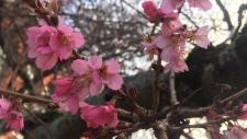 Cherry blossoms in Victoria. File