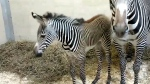 Toronto Zoo baby Zebra