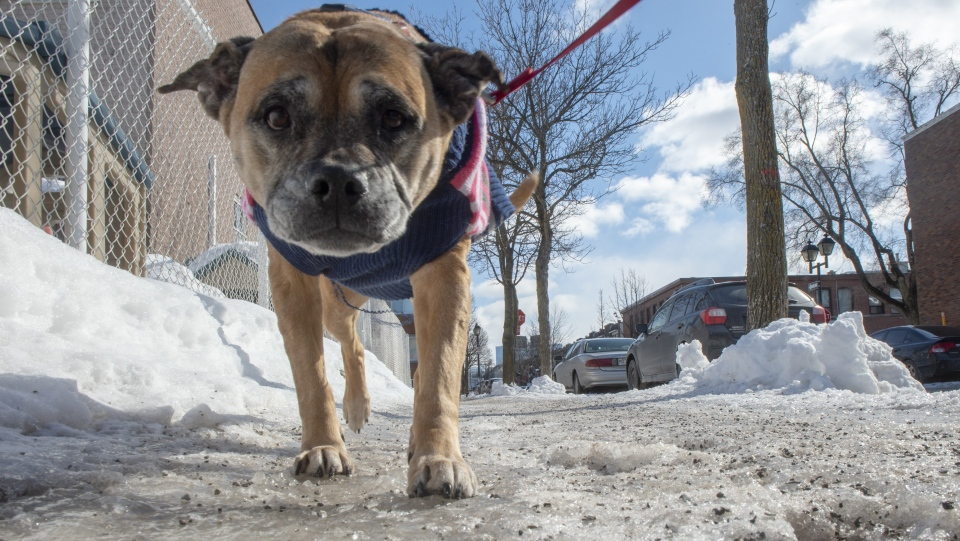 A dog makes its way along icy sidewalks Tuesday, February 26, 2019 in Montreal. (THE CANADIAN PRESS/Ryan Remiorz)