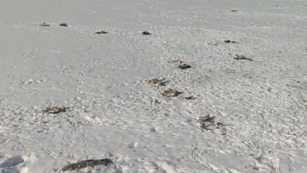 Elliston Park - duck carcasses